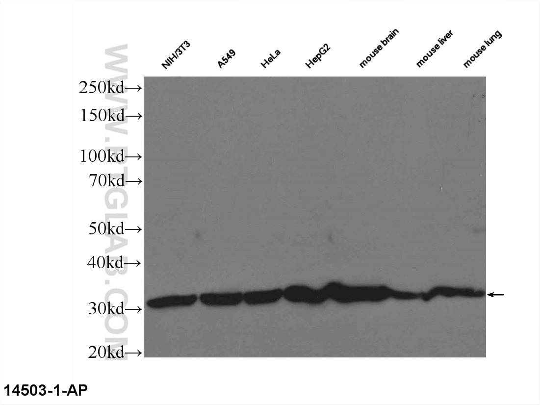 14503-1-AP;NIH/3T3 cells