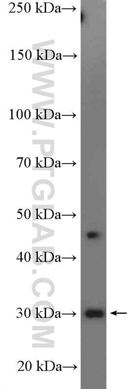 14503-1-AP;HeLa cells