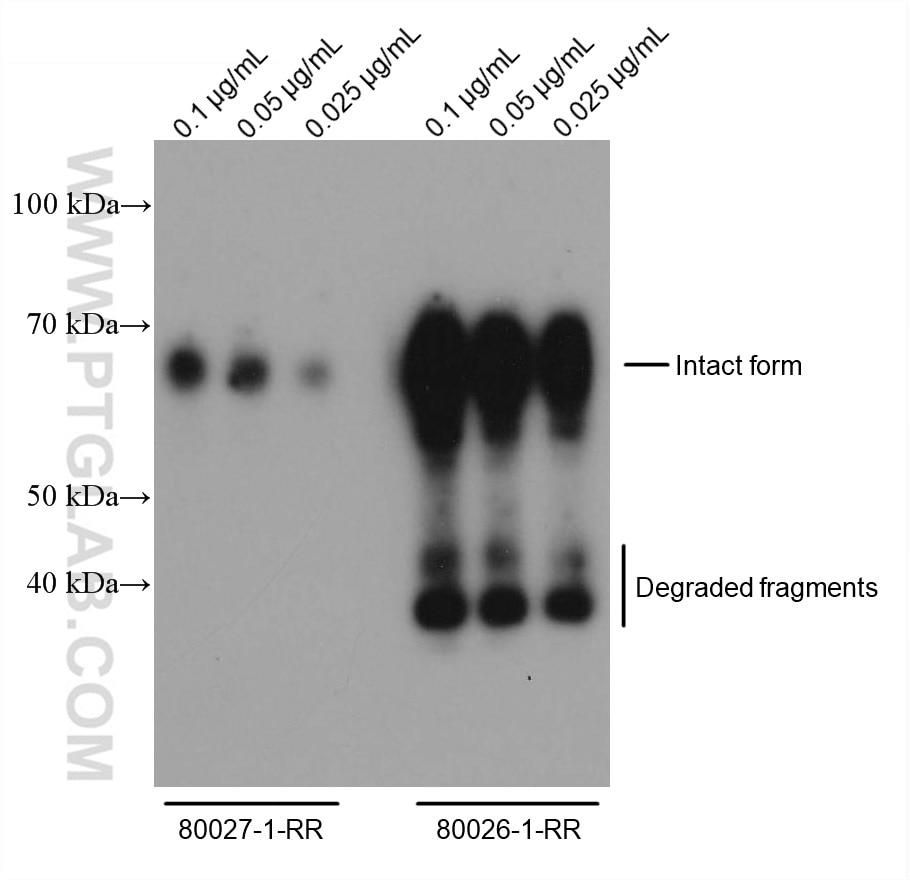 WB analysis of Eukaryotic nucleocapsid phosphoprotein using 80026-1-RR