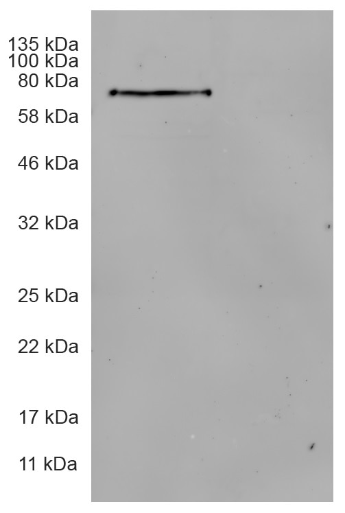 Western blot analysis of cell extract from HEK293T cells transiently expressing Actin-Chromobody-EGFP-Halo-tag and from untransfected cells.