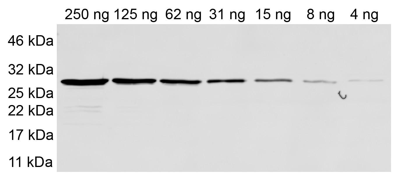 Sensitivity tested with purified recombinant Halo-tag protein. Primary antibody: anti-Halo 1:500. Secondary antibody: anti-mouse Alexa Fluor® 647 1:1,000.