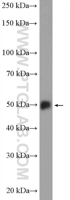 WB analysis of fetal human brain using 55163-1-AP