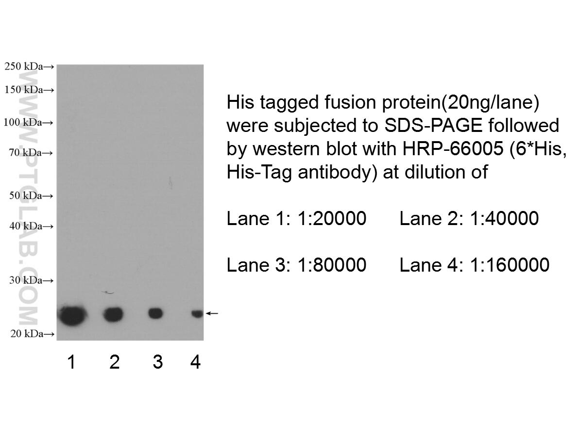 WB analysis of Recombinant protein using HRP-66005
