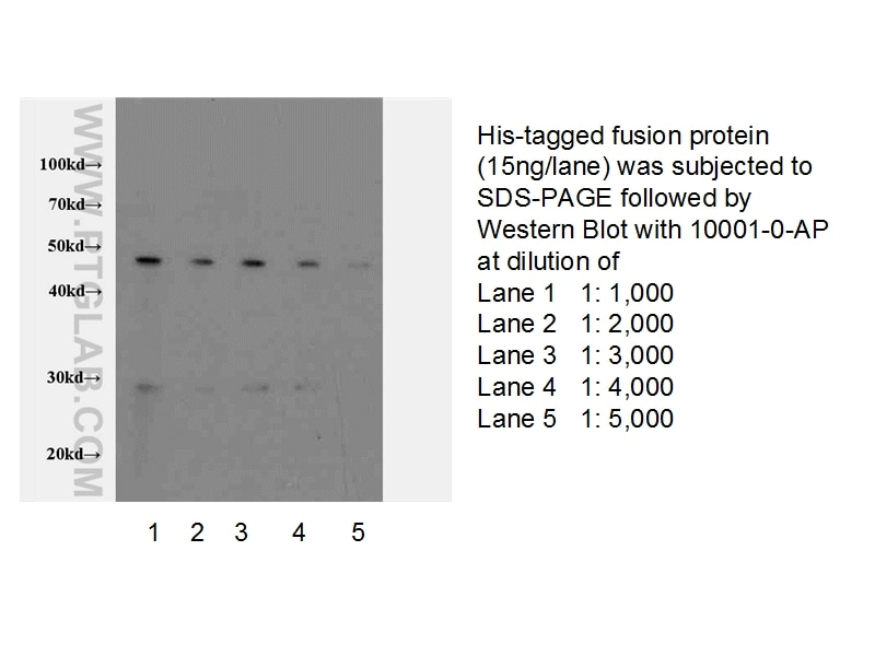10001-0-AP;recombinant protein protein