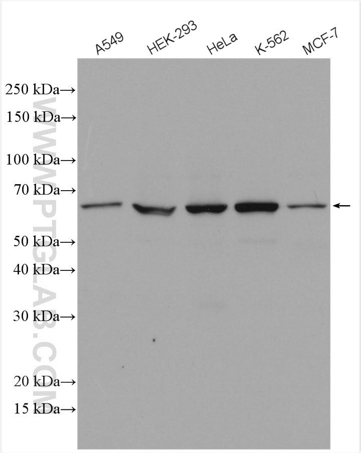 WB analysis using HRP-28548