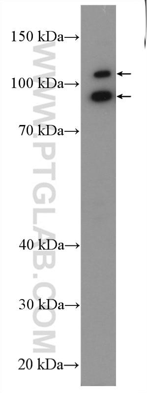 WB analysis of HepG2 using 24323-1-AP