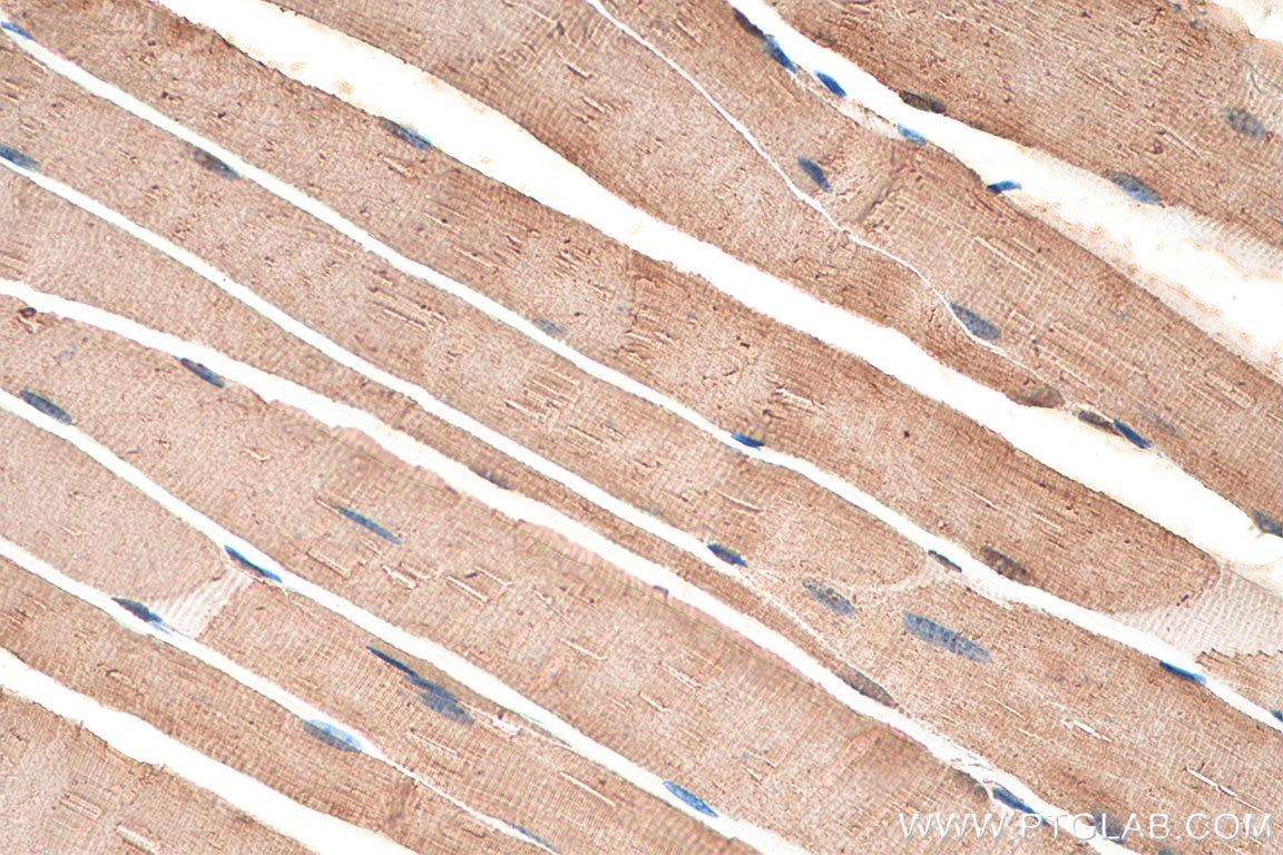 IHC staining of mouse skeletal muscle using 21923-1-AP