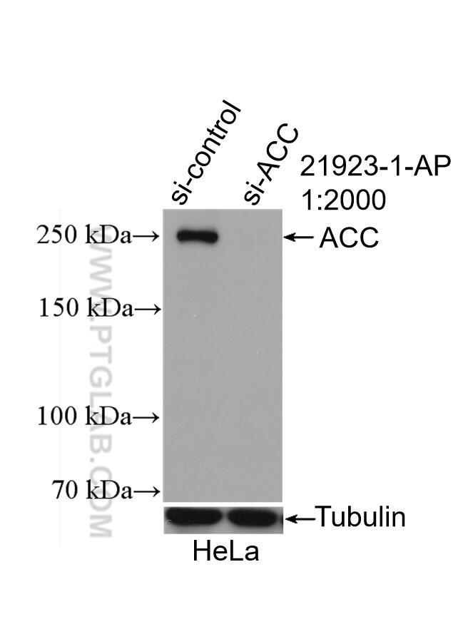 WB analysis of HeLa using 21923-1-AP