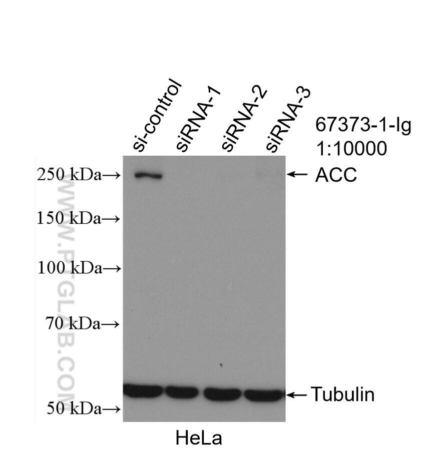 WB analysis of HeLa using 67373-1-Ig