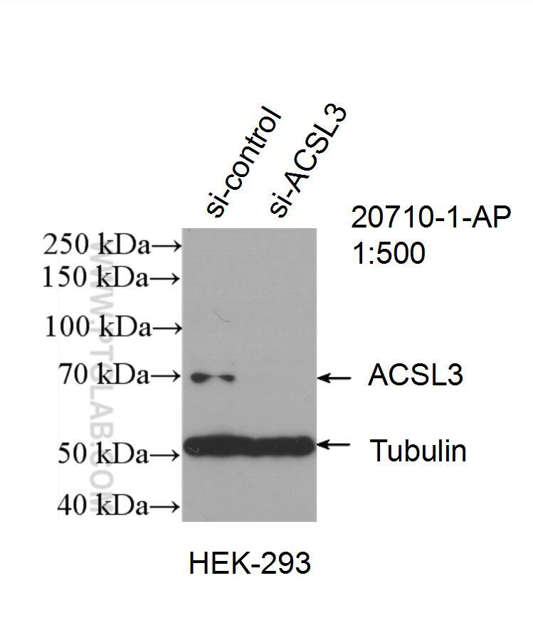 WB analysis of HEK-293 using 20710-1-AP