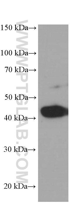 60008-1-Ig;arabidopsis whole plant tissue