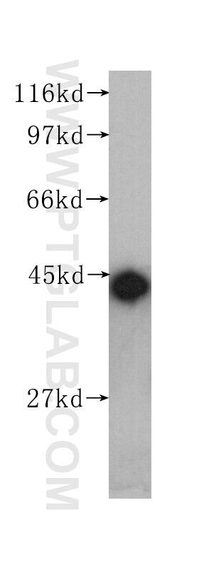 60008-1-Ig;HEK-293 cells