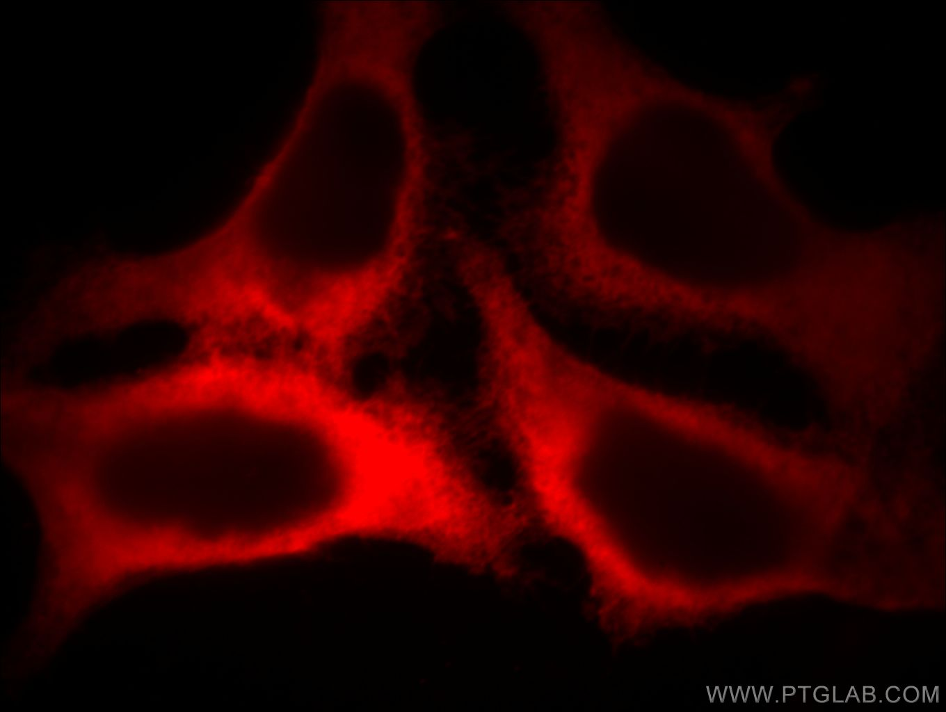 ACTB Immunofluorescence IF 60008-2-Ig ACTB Antibody PS1TP5BP1