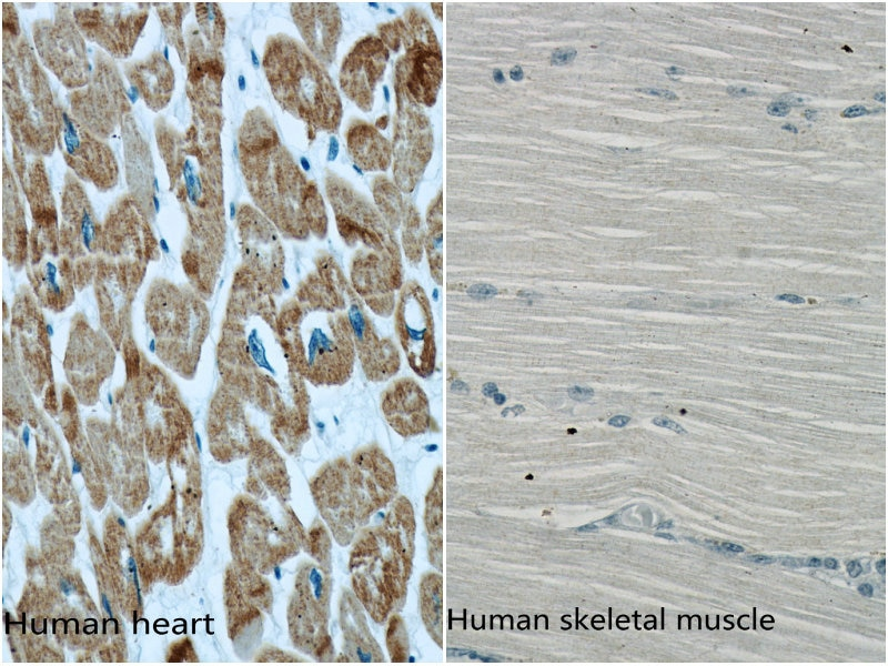 66125-1-Ig;human heart and human skeletal muscle tissue