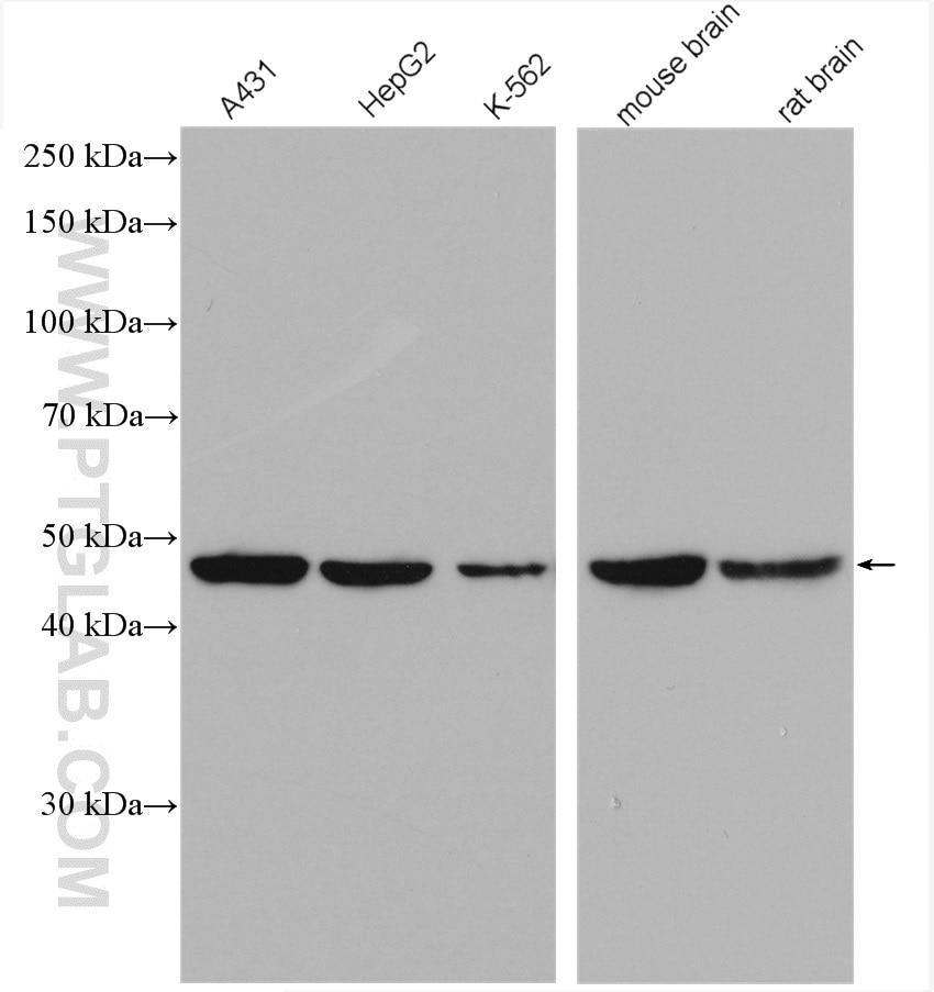 WB analysis using 17022-1-AP