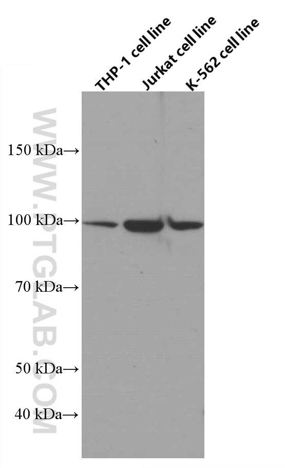 WB analysis of THP-1 using 66620-1-Ig
