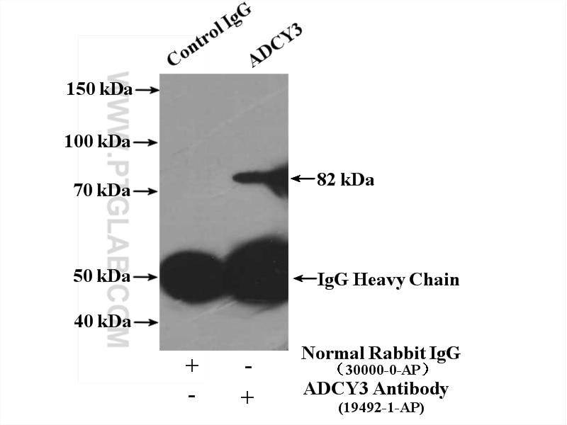 IP experiment of MDCK using 19492-1-AP