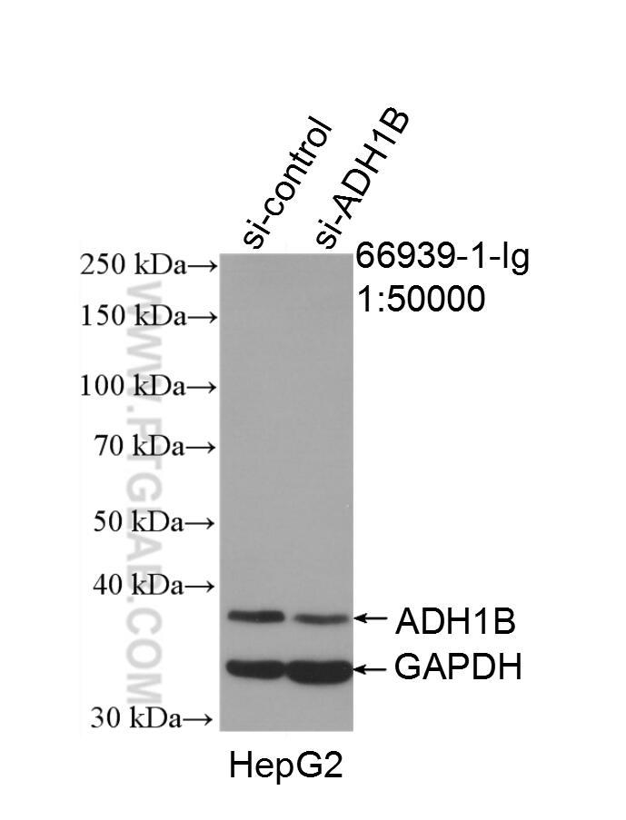 WB analysis of HepG2 using 66939-1-Ig