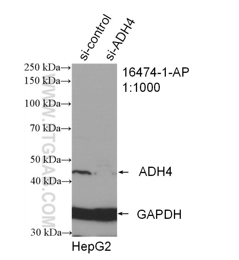 WB analysis of HepG2 using 16474-1-AP