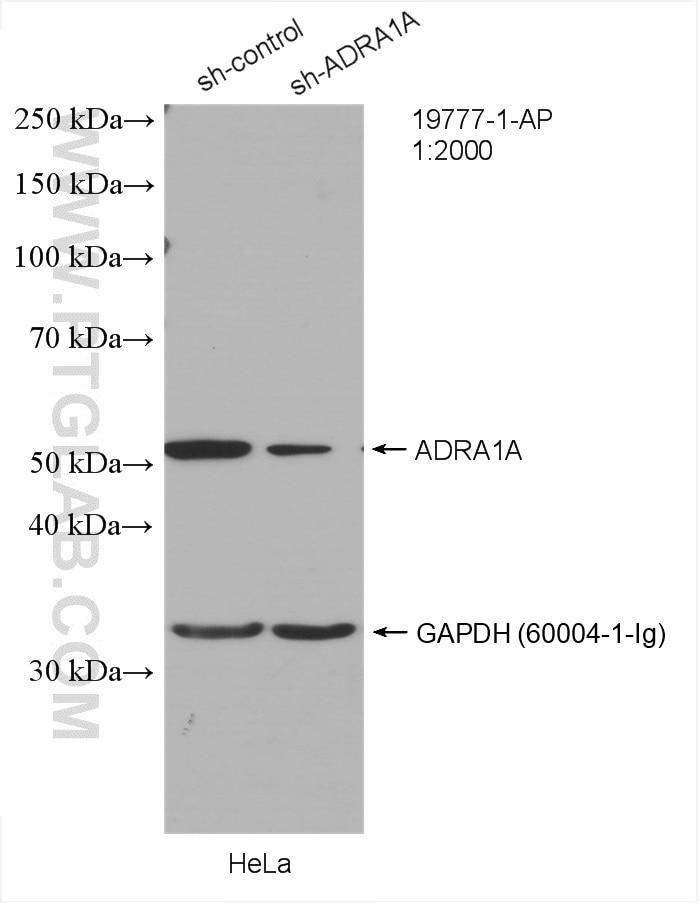 WB analysis of HeLa using 19777-1-AP