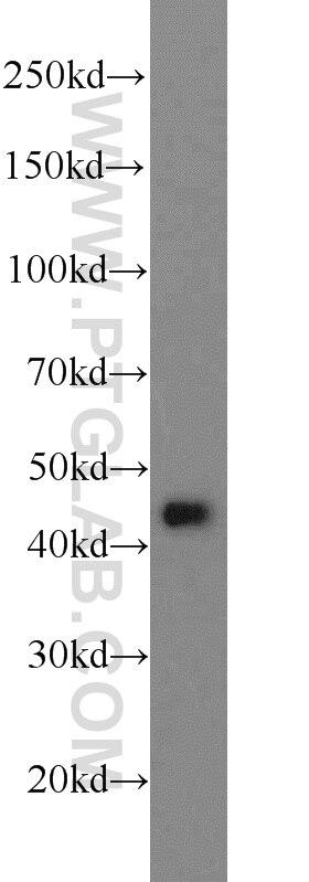 WB analysis of HEK-293 using 11468-1-AP