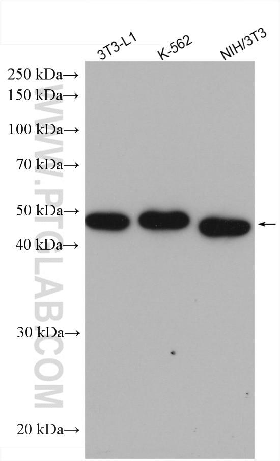 WB analysis of 3T3-L1 using 15294-1-AP