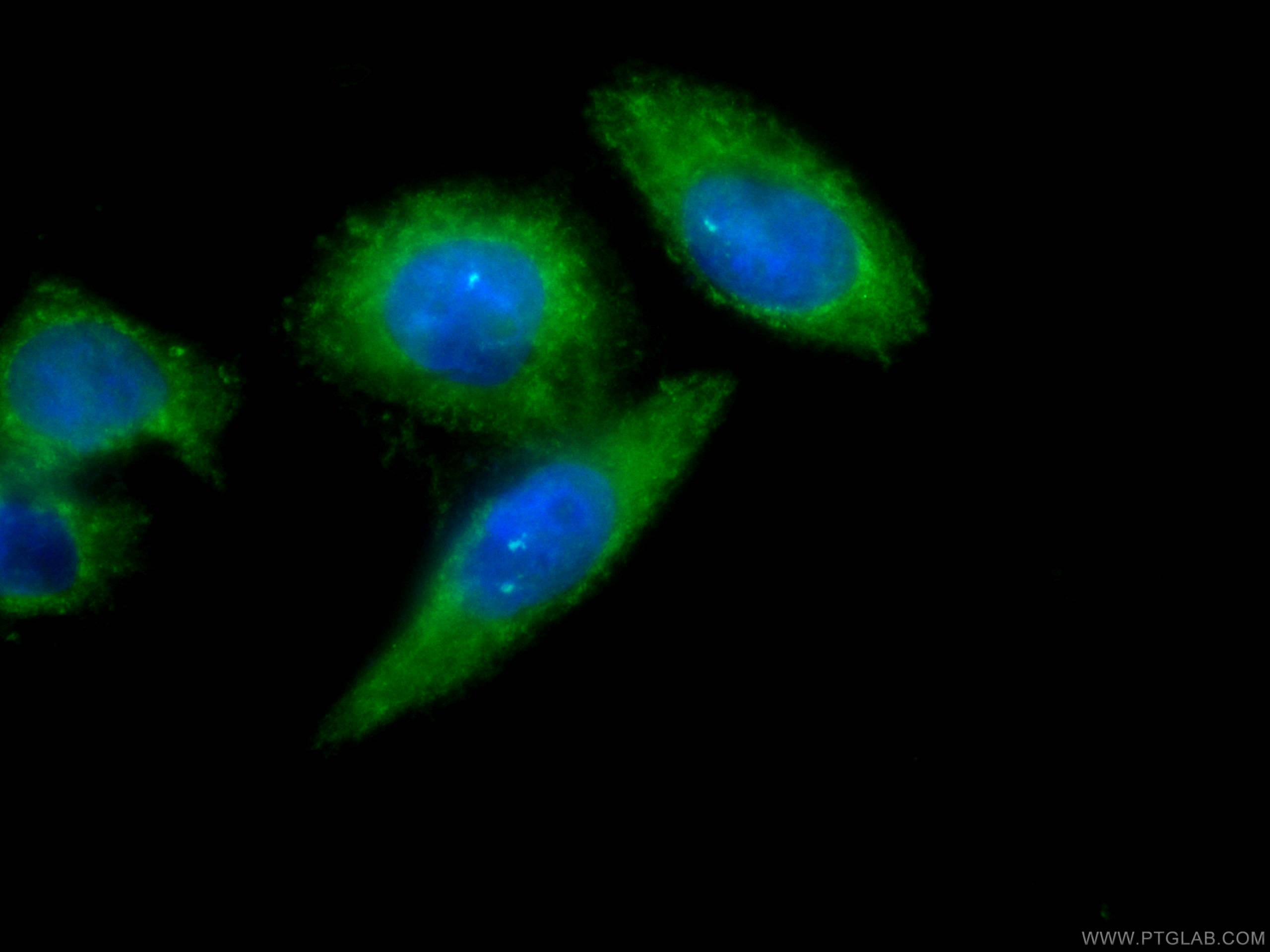 IF Staining of HeLa using CL488-66113