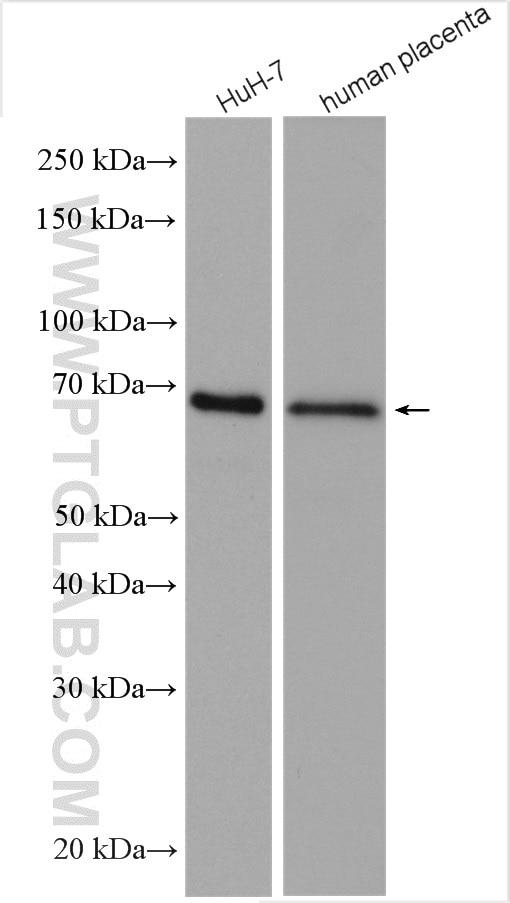 WB analysis using 14550-1-AP