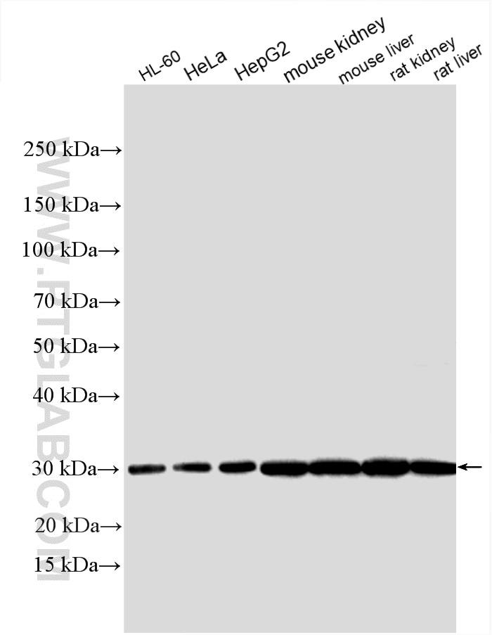 WB analysis using 11014-1-AP