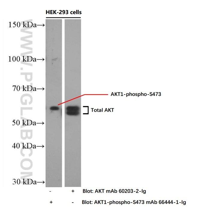 WB analysis of HEK-293 using 60203-2-Ig