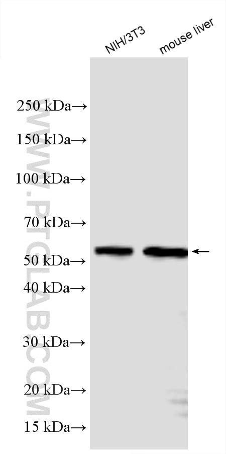 WB analysis using 28113-1-AP