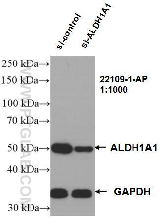 WB analysis of K-562 using 22109-1-AP