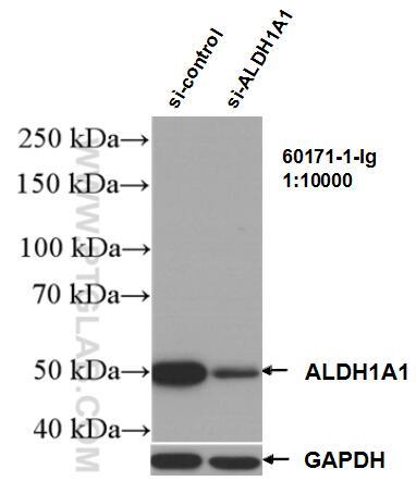 WB analysis of K-562 using 60171-1-Ig