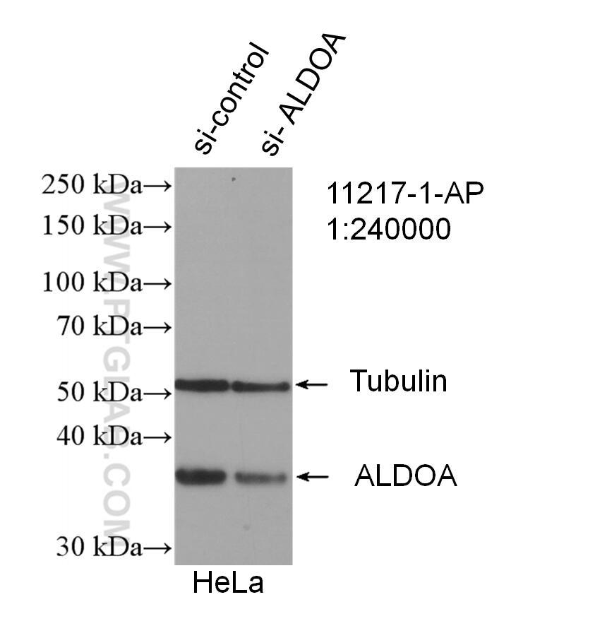 WB analysis of HeLa using 11217-1-AP