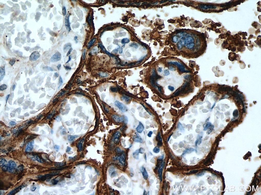 IHC staining of human placenta using 18507-1-AP