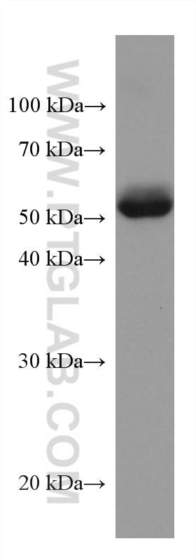 WB analysis of human placenta using 67577-1-Ig
