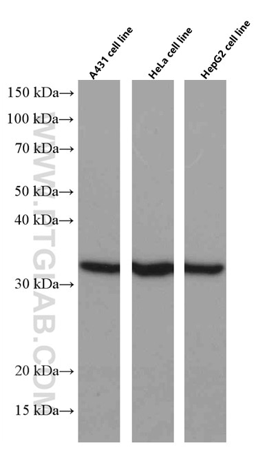 WB analysis using 66344-1-Ig