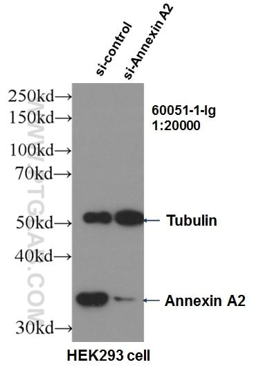 WB analysis of HEK-293 using 60051-1-Ig