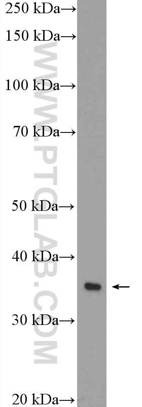 RAW 264.7 cells were subjected to SDS PAGE followed by western blot with  10087-1-AP( Annexin IV Antibody) at dilution of 1:1000 incubated at room ...