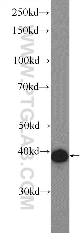 WB analysis of NIH/3T3 using 22114-1-AP