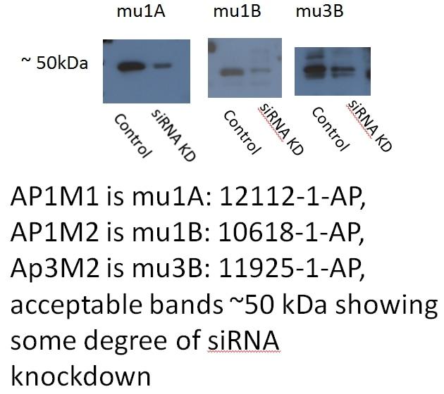 AP1M1 Polyclonal antibody