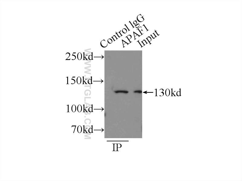 IP experiment of HEK-293 using 21710-1-AP