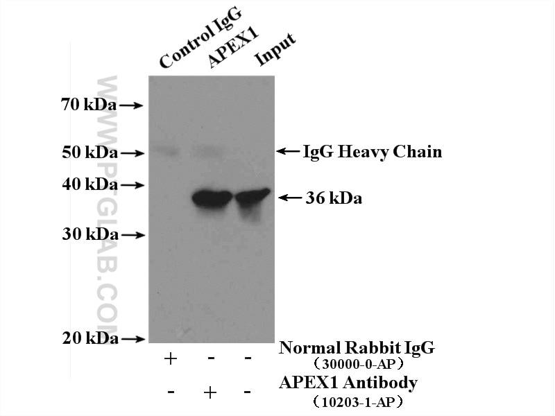 IP experiment of HeLa using 10203-1-AP