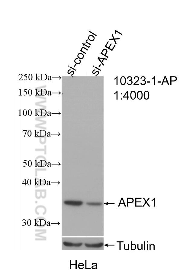 WB analysis of HeLa using 10323-1-AP
