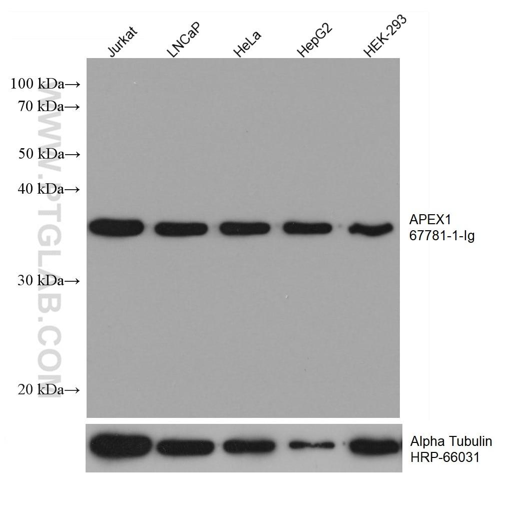 WB analysis using 67781-1-Ig