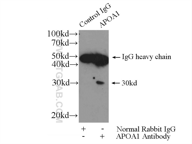 IP experiment of mouse lung using 14427-1-AP