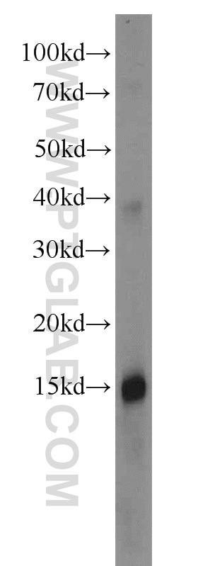 Apolipoprotein A II Polyclonal antibody