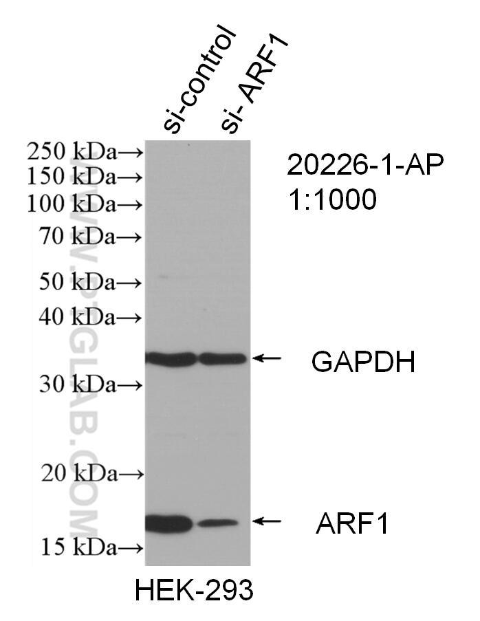 WB analysis of HEK-293 using 20226-1-AP