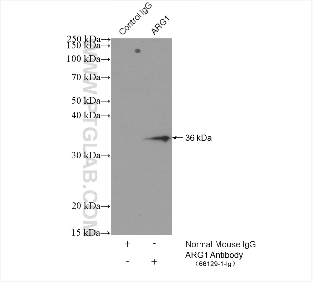 IP experiment of rat liver using 66129-1-Ig