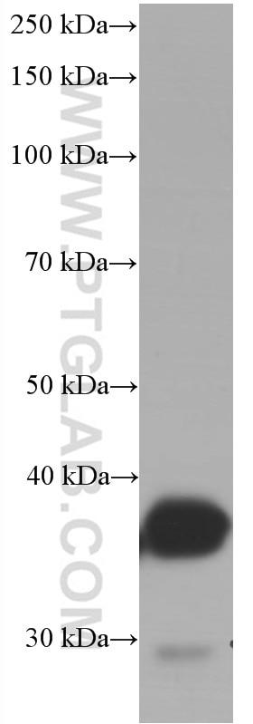 WB analysis of rat liver using 66129-1-Ig